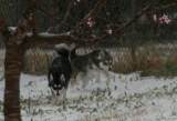 SNOW DOGS and Other Events