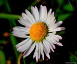 The first daisies in my garden