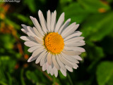 The last daisy of this month