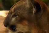 pantherFL1778_Florida Panther