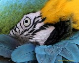 Blue and Gold Macaw 5.jpg