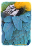 Blue and Gold Macaw 3.jpg