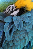 Blue and Gold Macaw 4.jpg