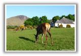 Lochranza Herd
