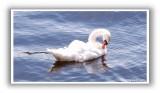 Oban Swan