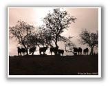 Melrose Cows
