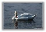 Loch Lomond Swan