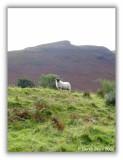 Lochranza Lamb