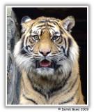 Tibor the Sumatran Tiger