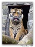 Tibor - Sumatran Tiger