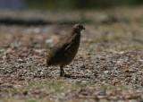 phasianidae_quail_