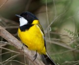 whistlers_shriketit_and_bellbird