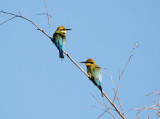 bee-eater_and_dollarbird