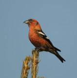 Tanagers Cardinals Crossbills