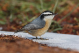 nuthatches, chickadees, and titmice