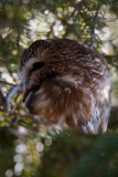 Northern Saw-Whet Owls  -  (Aegolius acadicus)  -  Petite nyctale