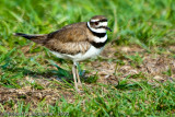 FAMILY CHARADRIIDAE  -  Plovers