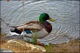 3 - Duck