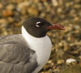 Gulls Terns Pelagic Birds