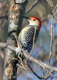 Red-bellied Woodpecker, Newmarket, NH - December