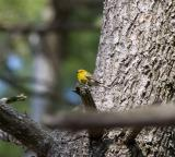 Pine Warbler, Pawtuckaway SP, April