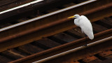 Egret and Tracks