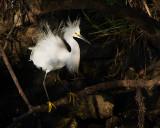 Hostile Egret