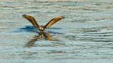 Pelican Arriving