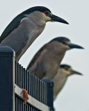 Three Night Herons