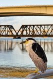 Night Heron with Bridges