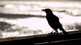 Grackle on the Pier