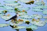 Bird & Pads