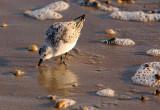 Sandpiper looking for morning breakfast