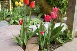 Fringed Tulips April 2006