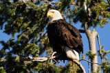 Bald Eagles D3X 600 F4 VR