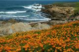 Shoreline Poppies