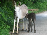Mother and baby donkey on road to the Bayview