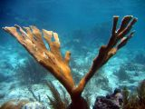 Cool looking elkhorn coral @ North Haulover