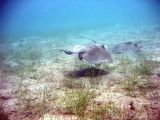 Two Sting Rays @ Waterlemon