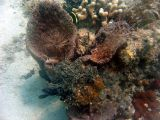 Cone Coral with Animies inside @ Waterlemon