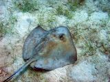 Sting Ray @ Waterlemon