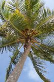 Coconut Tree on Vie's Beach