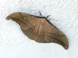 Antheraea sp. poss pernyi