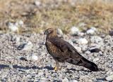 Montagus harrier - female