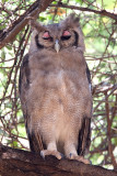 Verreaux's eagle-owl