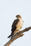 Pallid harrier - female