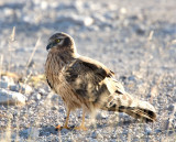 Montagus harrier - female