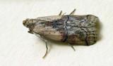 Nephopterix ochribasalis