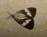 Nyctemera tripunctaria