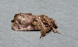 Callopistria guttulalis